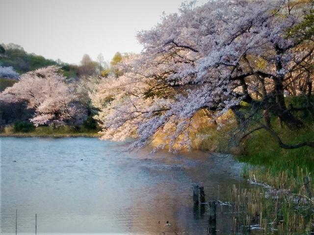 2018三ツ池公園の桜(5)