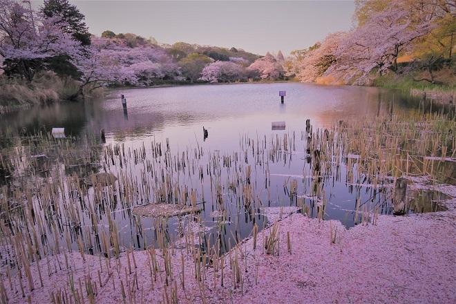 2018三ツ池公園の桜(7)