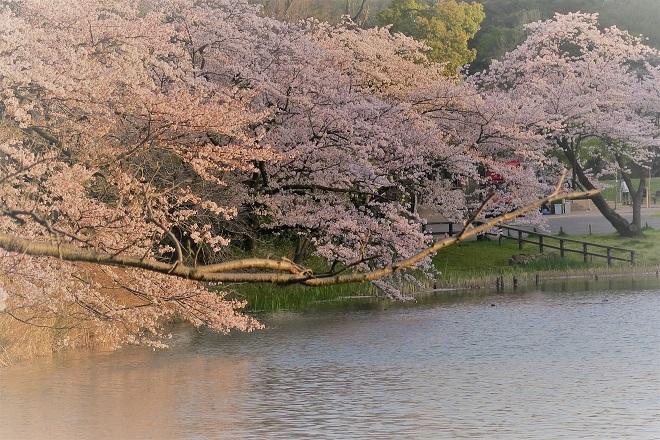 2018三ツ池公園の桜(8)