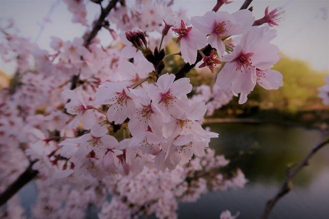2018三ツ池公園の桜(9)