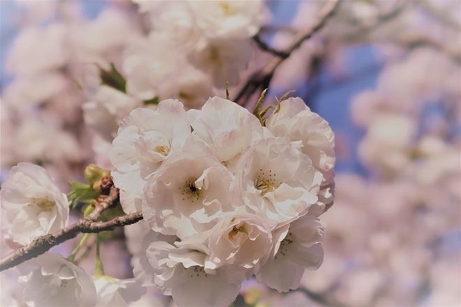 2018三ツ池公園の桜(10)