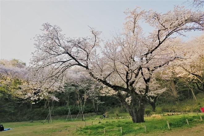 2018三ツ池公園の桜(11)