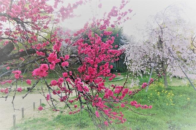 2018三ツ池公園の桜(12)