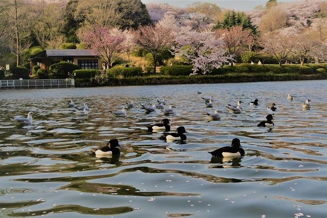2018三ツ池公園の桜(13)