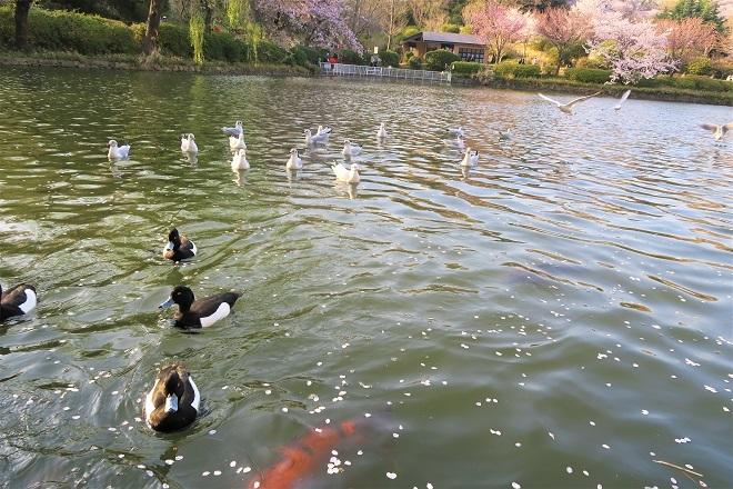 2018三ツ池公園の桜(14)