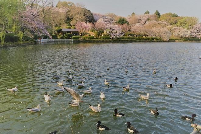 2018三ツ池公園の桜(15)