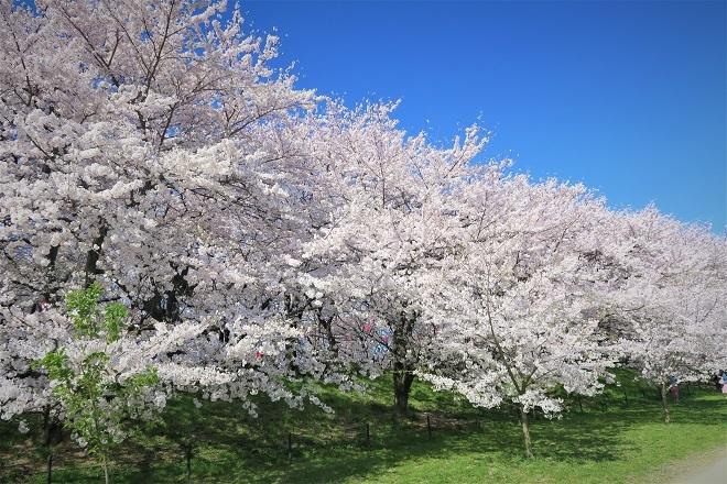 2018幸手権現堂の桜(1)