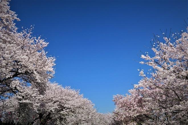2018幸手権現堂の桜(5)