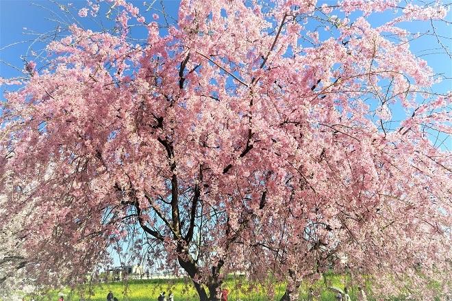2018幸手権現堂の桜(7)