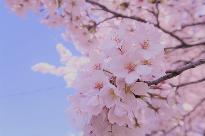2018幸手権現堂の桜(14)