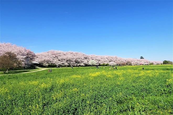 2018幸手権現堂の桜(Top)