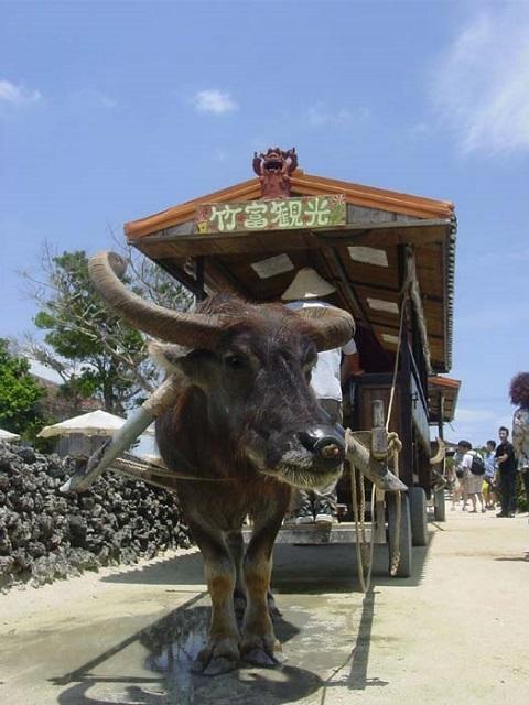 竹富島 牛車