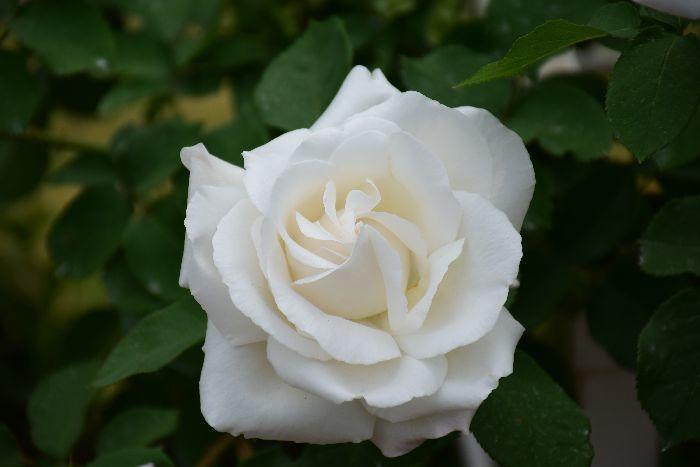 065-白バラ