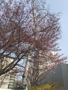 180423北大の桜