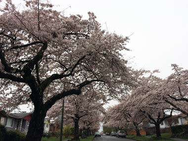 vancouver_cherry-blossoms.jpg