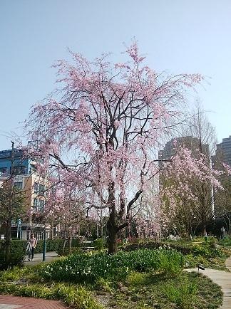 温故知新 ガーデンプレイス 櫻