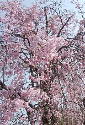 温故知新 ガーデンプレイス桜