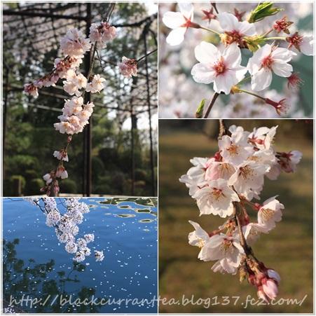 2018年 桜