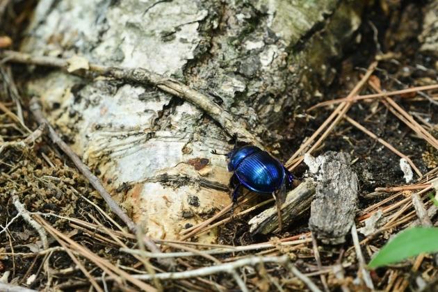 青いカナブン180527-1