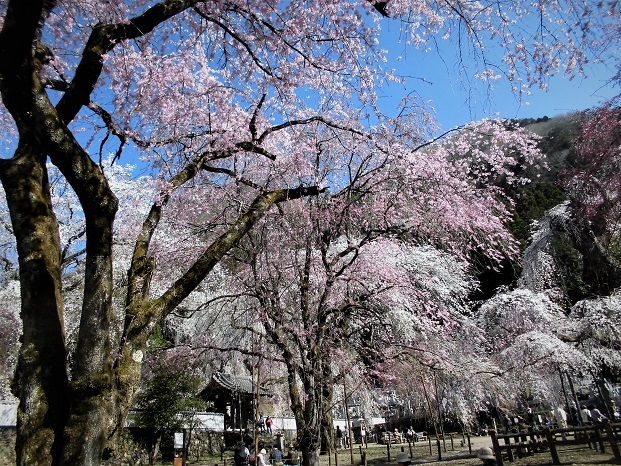 18.3.30 清雲寺の桜 (166)