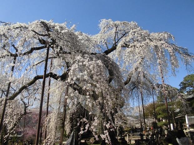 18.3.30 清雲寺の桜 (178)