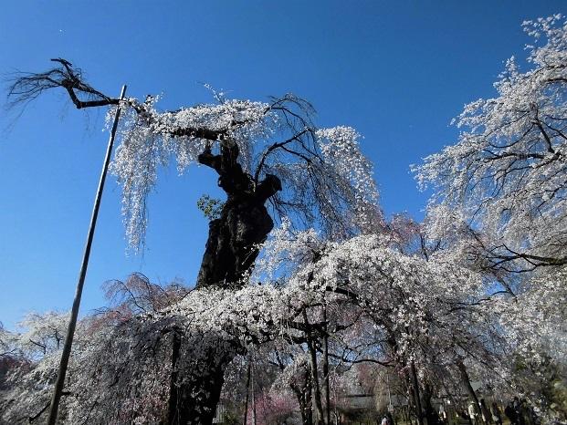 18.3.30 清雲寺の桜 (175)
