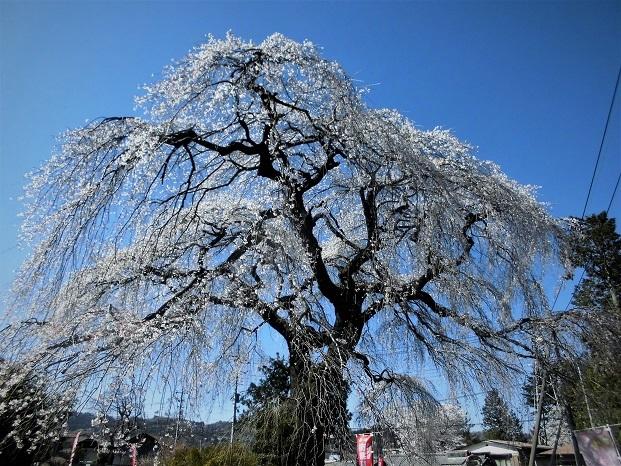 18.3.30 清雲寺の桜 (133)