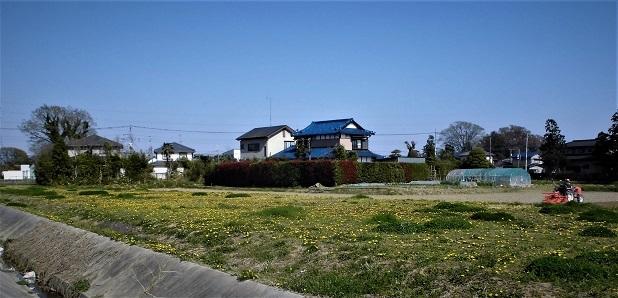 18.3.31 ひとつ売り・東埼玉病院のたんぽぽ畑 (16)