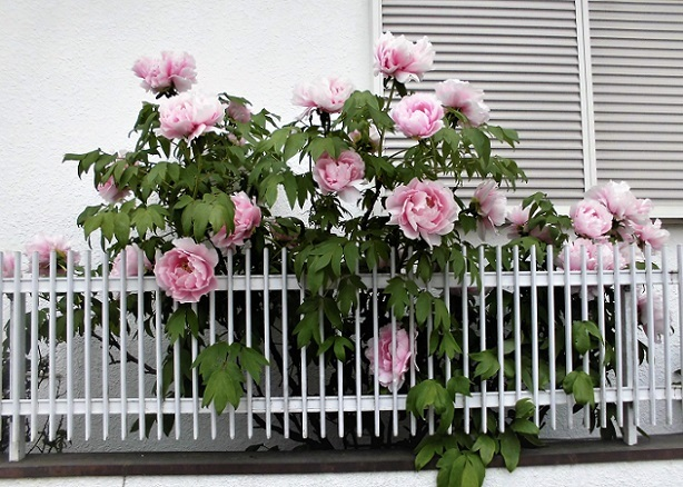 18.4.14 桜草まつり (58)