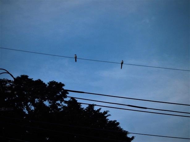 18.4.25 電線の鳥 (2)