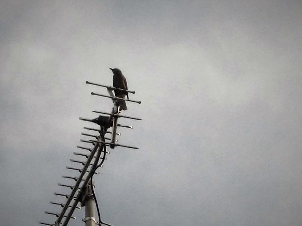 18.4.25 電線の鳥 (6)
