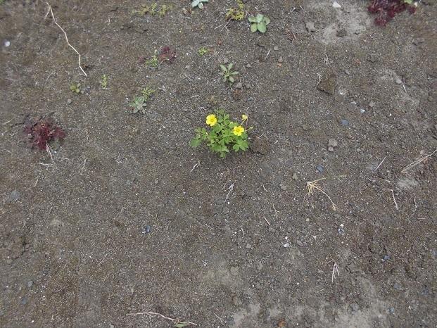 10 18.4.15カラスと絵のモチーフ・藤の花  (96)