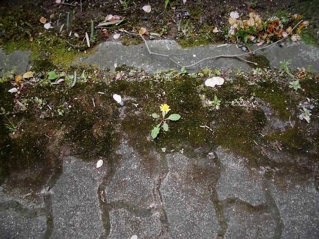 12 18.4.14 桜草まつり (64)