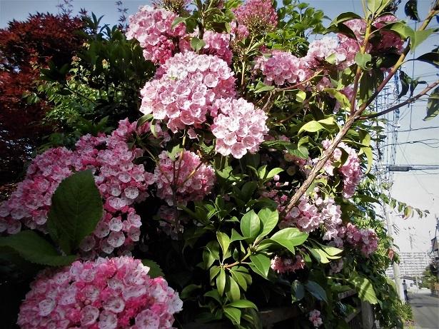 18.5.11 パステル婦人途中、散歩、金色の花 (10)
