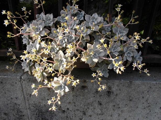 18.5.11 パステル婦人途中、散歩、金色の花 (15)