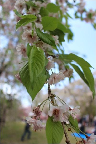 6892しだれ桜