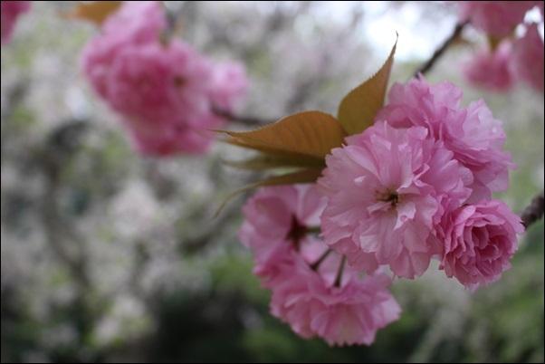 6881八重桜