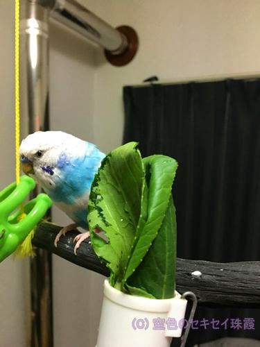 小松菜 インコ セキセイインコ 空色のセキセイ 珠霞