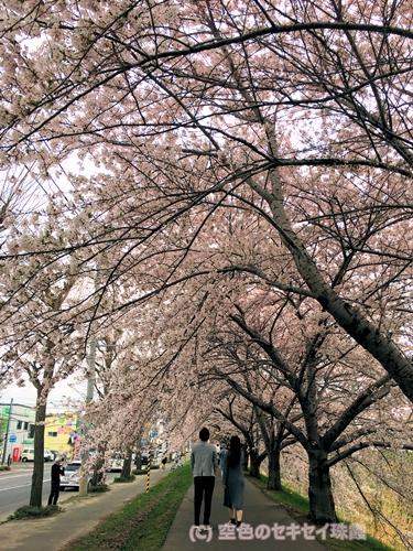 桜 花見 空色のセキセイ 珠霞 セキセイインコ インコ 桜のトンネル