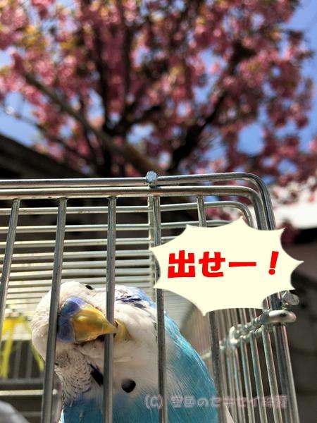 八重桜 札幌 花見 空色のセキセイ セキセイインコ 珠霞