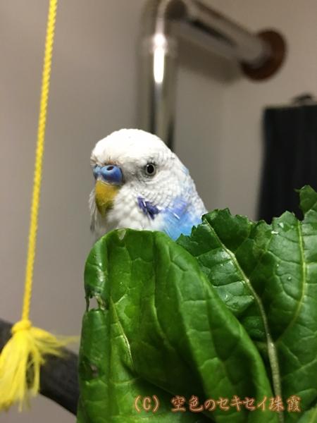 小松菜 珠霞 空色のセキセイ 珠霞 インコ