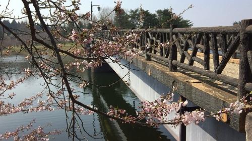 青森桜歩き2018 (2)_500