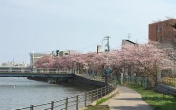 青森桜歩き2018 (5)_500
