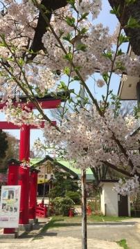 青森桜歩き2018 (12)_500