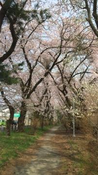 青森桜歩き2018 (15)_500