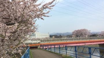 青森桜歩き2018 (20)_500