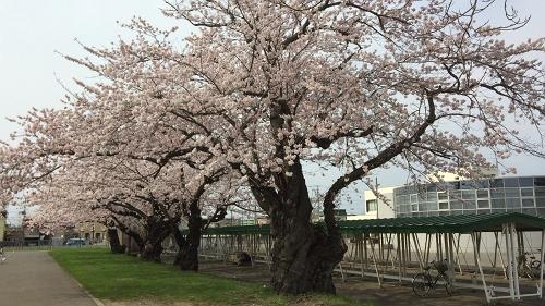 青森桜歩き2018 (23)_500