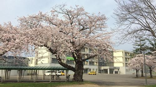 青森桜歩き2018 (24)_500