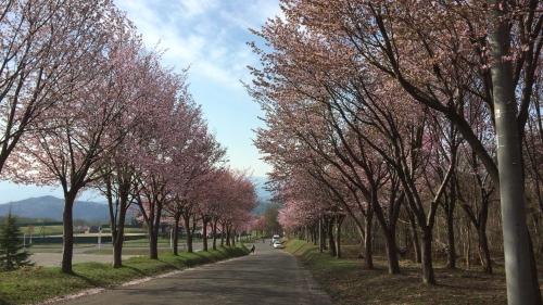 桜並木ウオーク4-30 (3)_500
