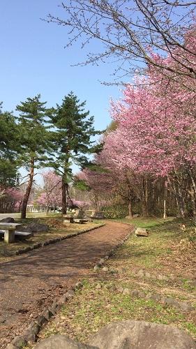 桜並木ウオーク4-29 (1)_500